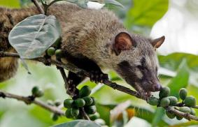 Civet on coffee plant | Fauna by Jago Furnas